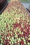 Milliers de pommes étant conduites au processus après la récolte dans NY Image libre de droits