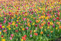 Milliers de tulipes images libres de droits
