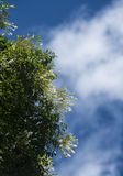 Millingtonia hortensis flower with blue sky Stock Photo