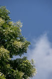 Millingtonia hortensis flower with blue sky Royalty Free Stock Image