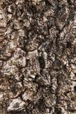 Millingtonia hortensis tree bark Stock Images