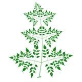 Millingtonia. Hortensis, Tree Jasmine or Indian Cork Tree, the sole species in the genus Royalty Free Stock Photo