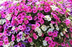 Million Bells bloom in multiple colors in a hanging basket. Multiple colored Million Bells flowers blooming together Stock Photo