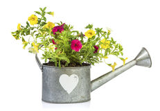 Million Bells flowers planted into watering can isolated. Yellow and purple Calibrachoa flowers planted into tin watering can with heart shape isolated on white stock images