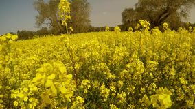 Million bright yellow flowers and olive trees, bees and a little wind, blue sky, deep winter in cyprus stock video