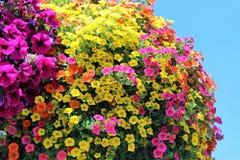 Million de Bells fleurissent dans des couleurs multiples dans un panier accrochant Photo stock