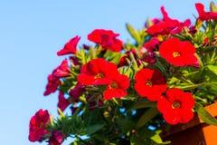 Million de détail de fleur de cloches Fleurs rouges et pourpres d'été Belles usines dans le jardin Décoration pour la maison d'ét Photos libres de droits
