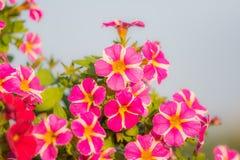 Million de détail de fleur de cloches Fleurs rouges et pourpres d'été Belles usines dans le jardin Décoration pour la maison d'ét Photo stock