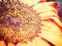 Macro Sunflower Florets Bloom Artsy. Sunflower blooms muted and cross processed with macro detail stock images