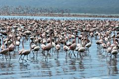 Million pink flamingos Stock Images