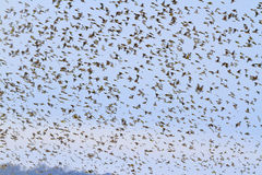 Million songbirds fly at sunset Royalty Free Stock Photo