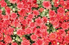 Millionen der roten Herbstblumen Lizenzfreie Stockfotos