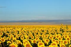Millionen Sonnenblumen mit Nebel und den Bergen im backgro lizenzfreies stockfoto
