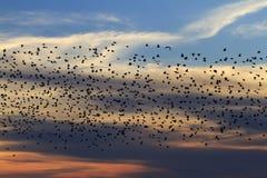 Millionenmenge von Staren bei Sonnenuntergang Lizenzfreies Stockbild