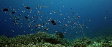 School of  Chromis Damsel, Chromis sp, hiding in a coral. Millions of Chromis Damsel, Chromis sp, hiding in a coral , WAKATOBI, Indonesia, slow motion stock footage