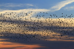 Millions flock of starlings at sunset Royalty Free Stock Image
