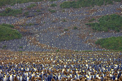Millions of King penguins Antarctica Royalty Free Stock Photography