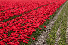Millions of tulips Royalty Free Stock Photography