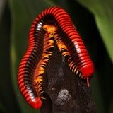 Millipede, κόκκινα πολυ-με πόδια πλάσματα Στοκ Εικόνες