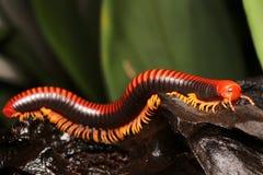 Millipede, κόκκινα πολυ-με πόδια πλάσματα Στοκ Φωτογραφία