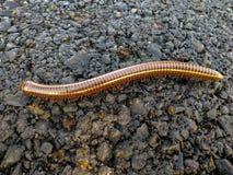 Millipede που περπατά στην οδό στοκ εικόνα με δικαίωμα ελεύθερης χρήσης