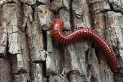 Millipede Royalty Free Stock Photos