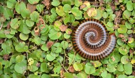 Millipede. Macro shot of a curled up millipede Royalty Free Stock Image