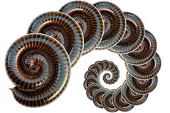 Millipede. Be animal has a leg most among the terrestrial animal , have no the backbone Stock Photo