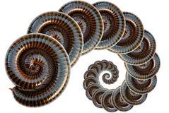 millipede Στοκ Εικόνες