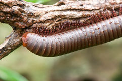 Millipede Stock Photo