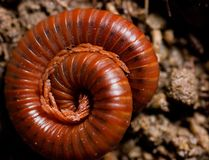 millipede Royaltyfria Bilder