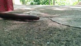 millipede απόθεμα βίντεο