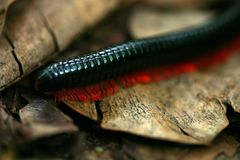 millipede Royaltyfria Foton