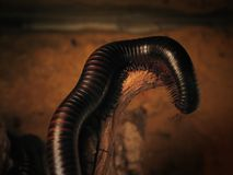 Millipede Stock Image