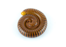 Millipede. Alone animal asia fauna Stock Photo