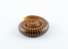 Millipede Royalty Free Stock Photo