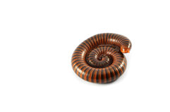 Millipede Stock Photos