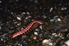 Millipede;animal with many legs Royalty Free Stock Photo