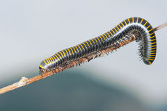 Millipede. A black millipede with yellow rings crawl on branch Stock Image
