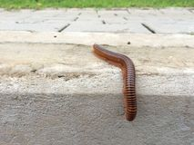 Millipede climb down from sidewalks. Close up millipede climb down from sidewalks, lawn is on background Royalty Free Stock Images