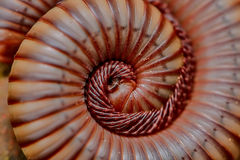 Millipede close-up Stock Photography
