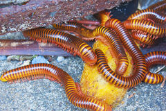 Millipede Royalty Free Stock Images