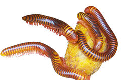 Millipede Stock Photography