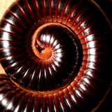 Millipede Royalty Free Stock Image