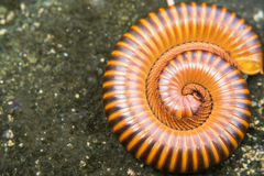 Millipede curled up on the ground. Royalty Free Stock Image