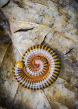 Millipede. Defend or Protect yourself on Dry leaf Royalty Free Stock Photography