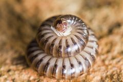 Millipede in defensive position Royalty Free Stock Photos
