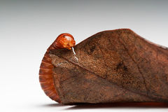 Millipede on dried leaf Royalty Free Stock Photography