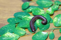 Millipede with green leaves on the wooden floor. It is a myriapod invertebrate with an elongated body composed of many segments. Millipede with green leaves on stock photo