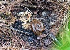 Millipede on ground. Millipede animal antenna arthropod athropoda athropodology in wild Royalty Free Stock Photography